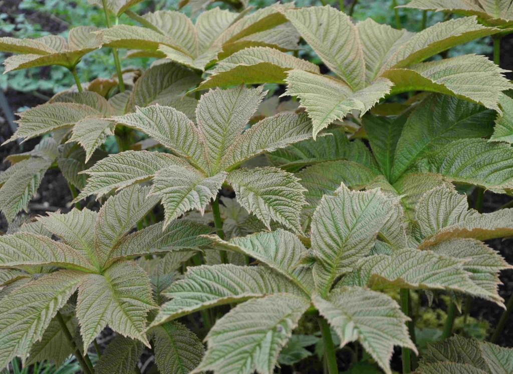 Bronsrodgersian har enormt stora fikiga blad med en kopparskiftande färgton.