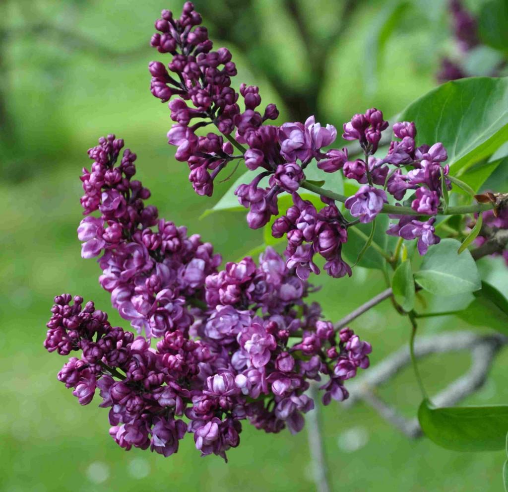 Dubbelblommande syrener blommar något senare än andra syrener.