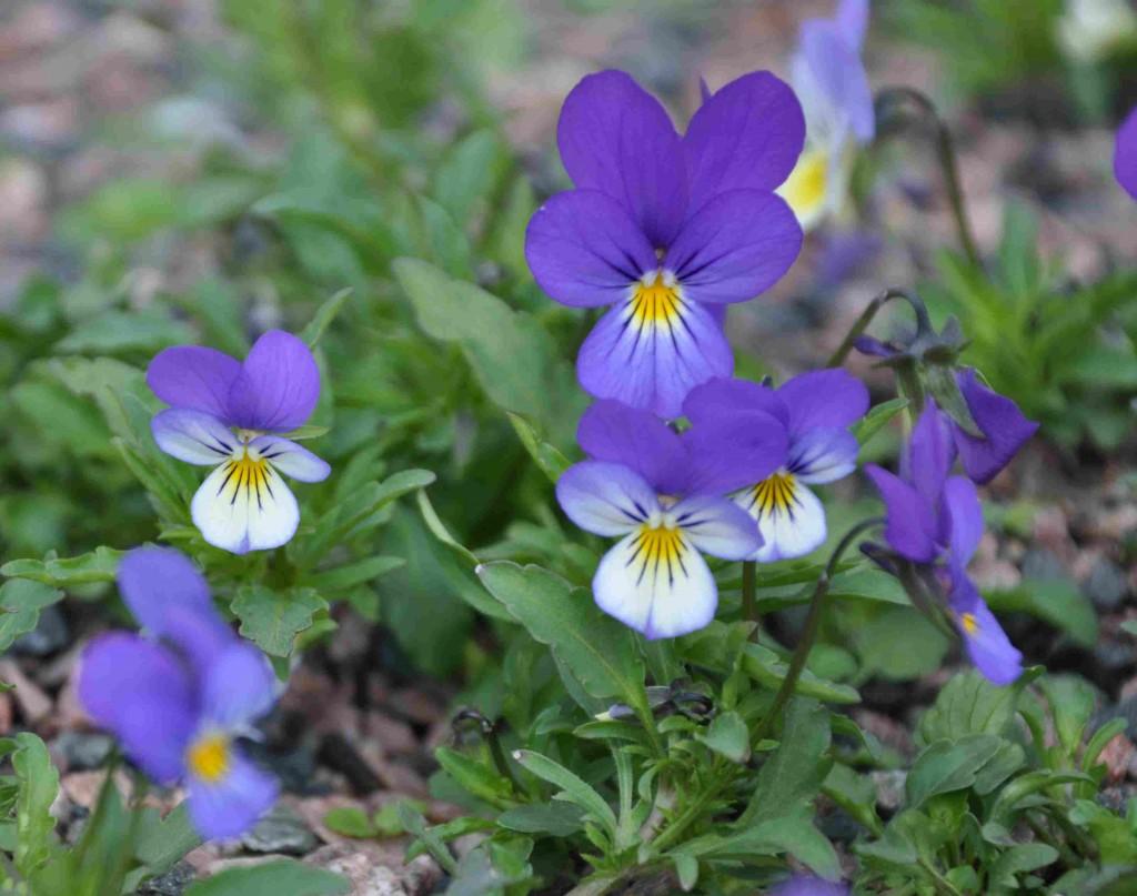 Styvmorsviolen växer på torr, öppen mark som bergshällar, vägkanter och torra betesmarker.