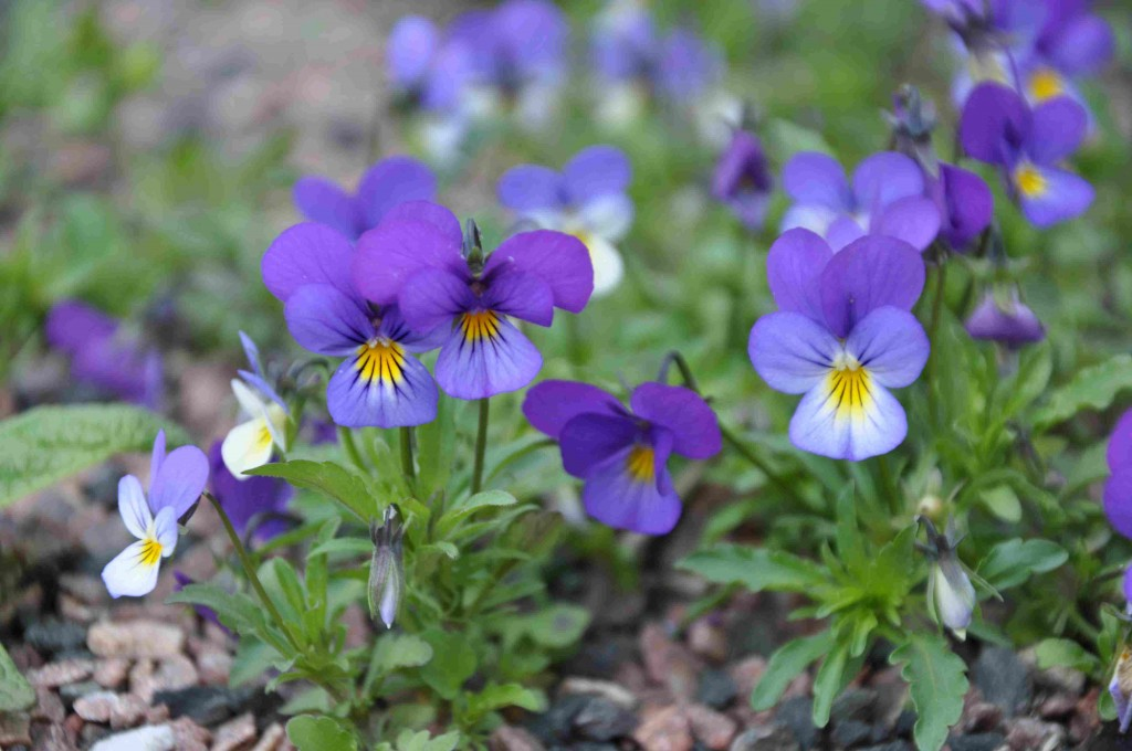Den trefärgade styvmorsviolen är en nektarrik växt i torra miljöer.