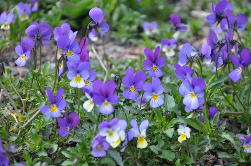 Styvmorsviolen är trefärgad i gult, lila och vitt.