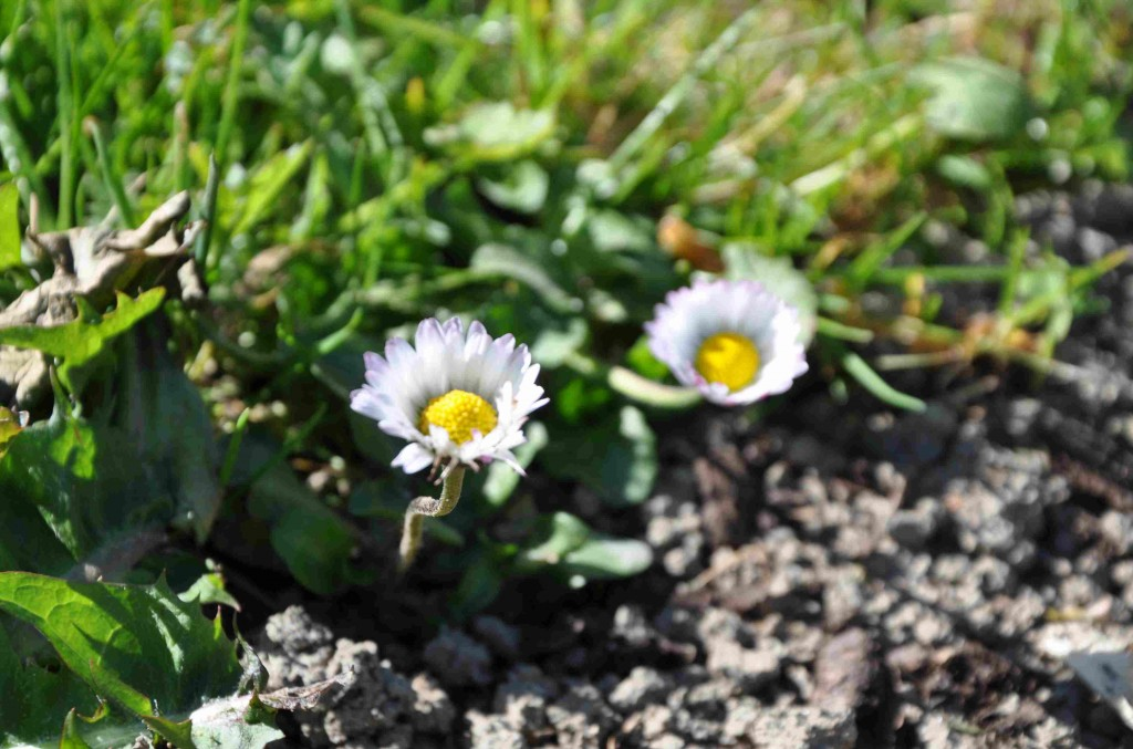 Tusensköna kan snabbt komma in i odlingen via gräsklipp i täckodlingen.