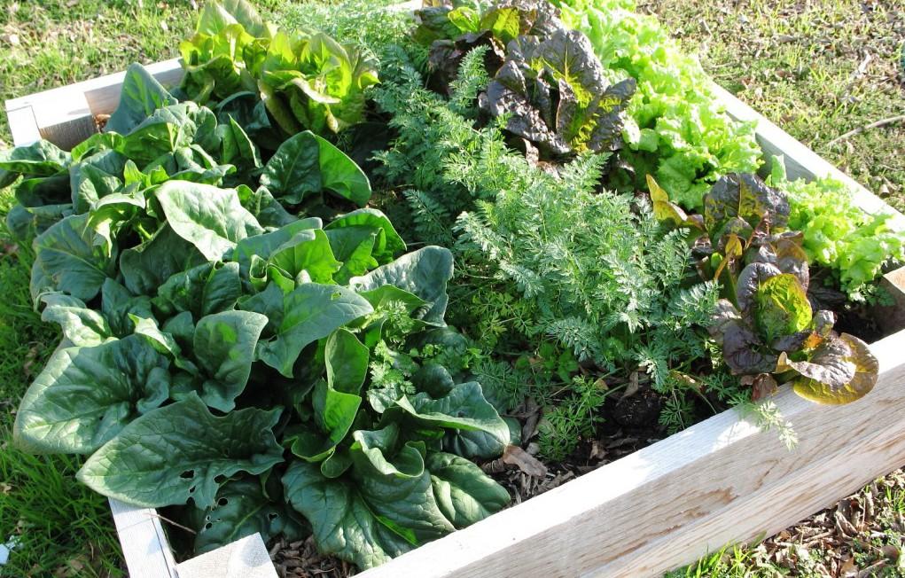 Spenat och sallad är lättodlade grönsaker för nybörjaren.
