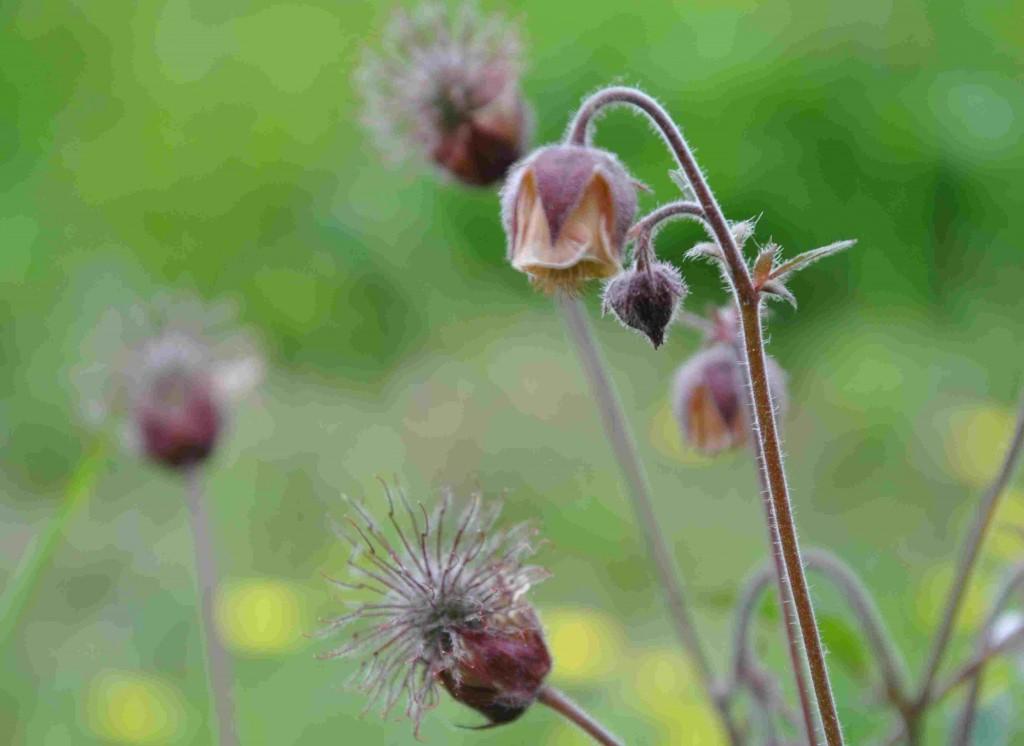 Humleblomster ären naturlig art som även förekommer i trädgården.