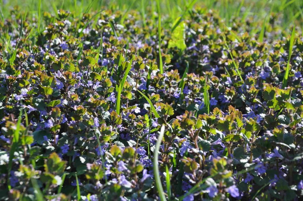 Jordrevans blommor är blålila och mycket vackra.