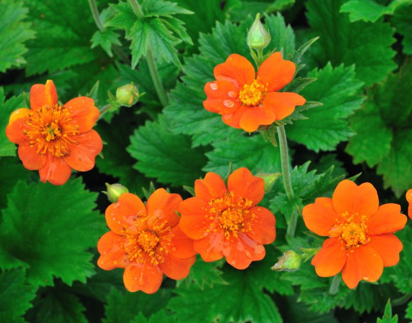 orange blomma namn