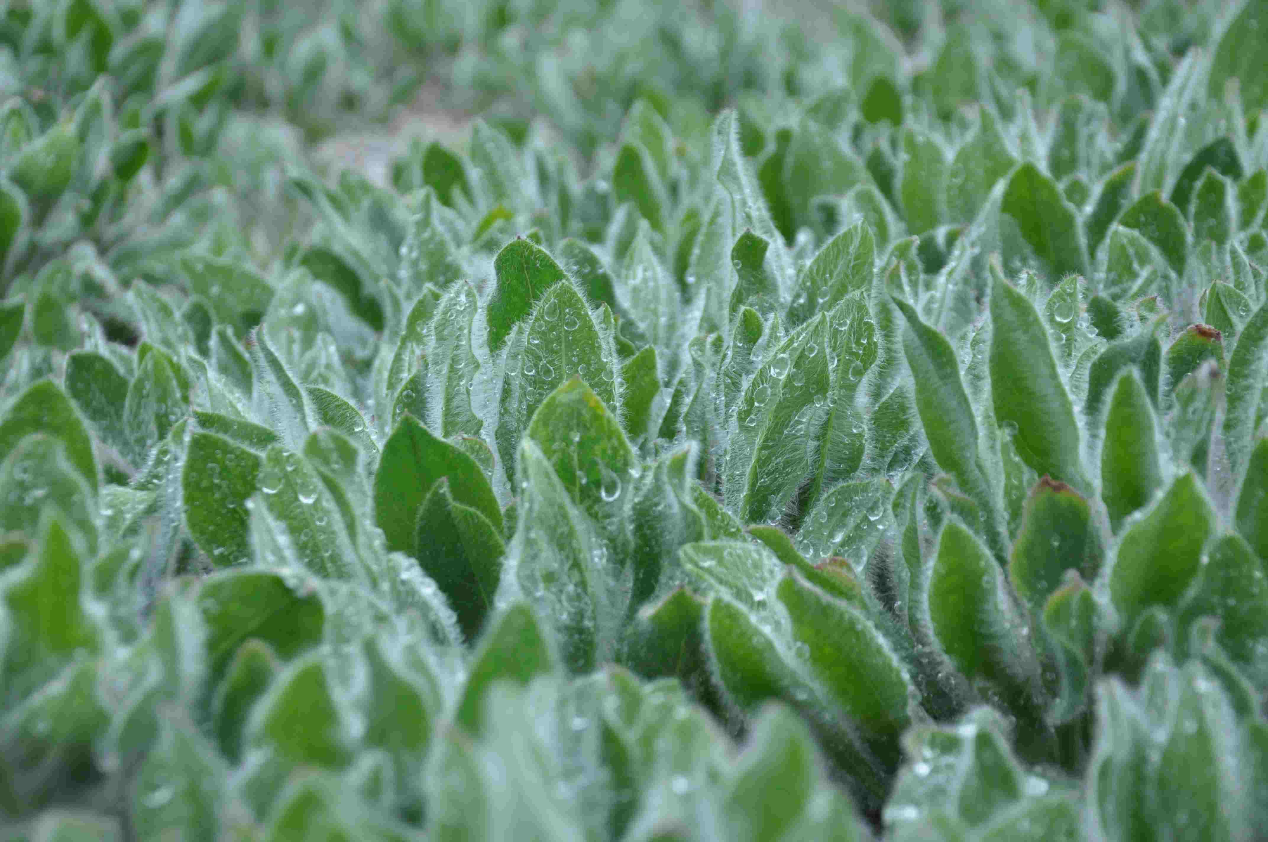 Växter med silvriga blad
