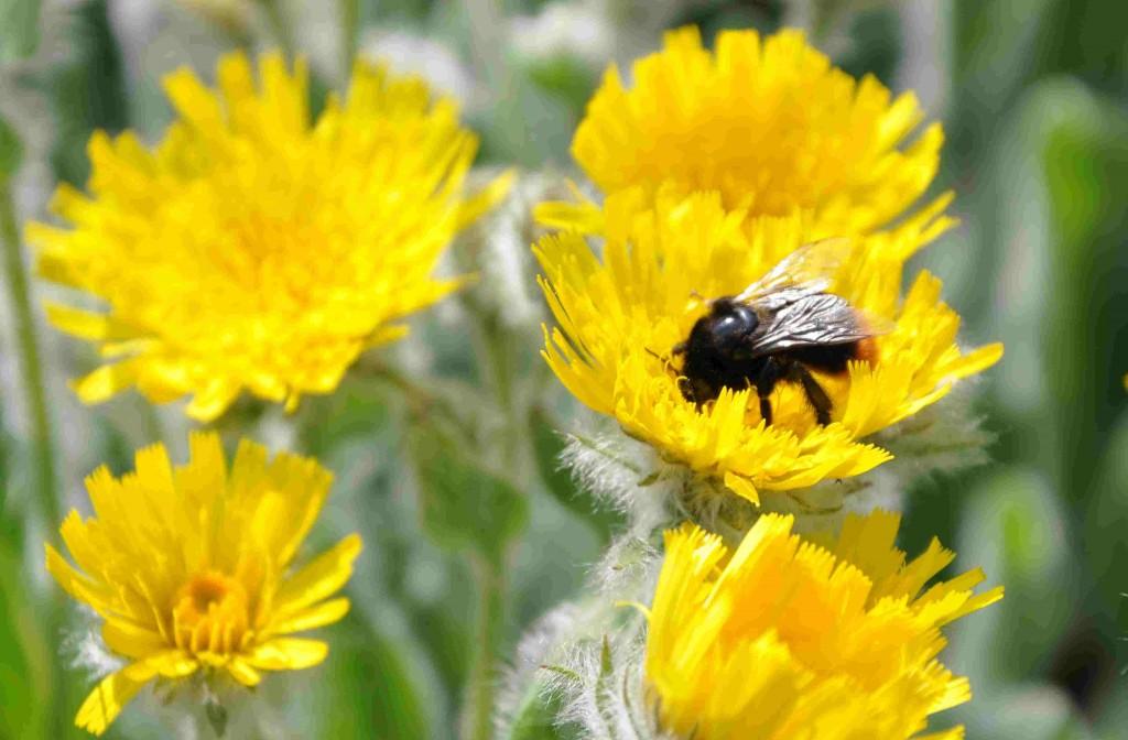 Ullfibblan är en bra biväxt som lockar insekter till sig med sin klara färg.