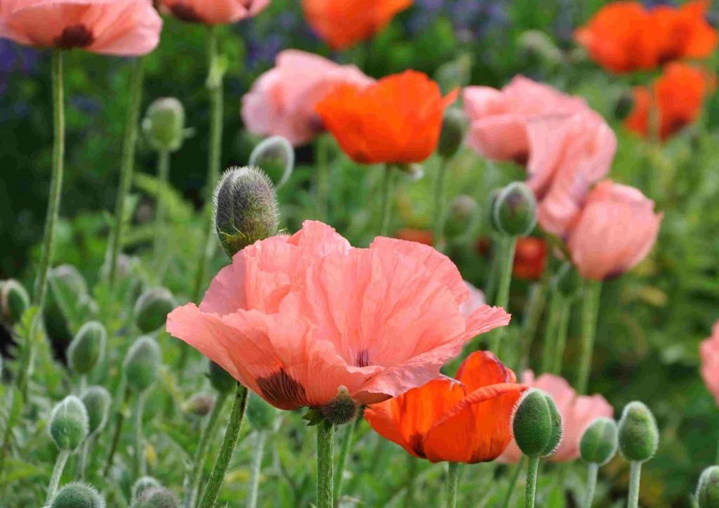 Vallmoväxterna har en kort men intensiv blomningstid.