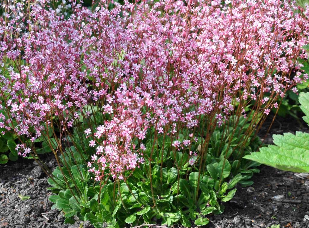 Bräckor är låga och anspråkslösa marktäckande växter som tar plats i blomningstider.