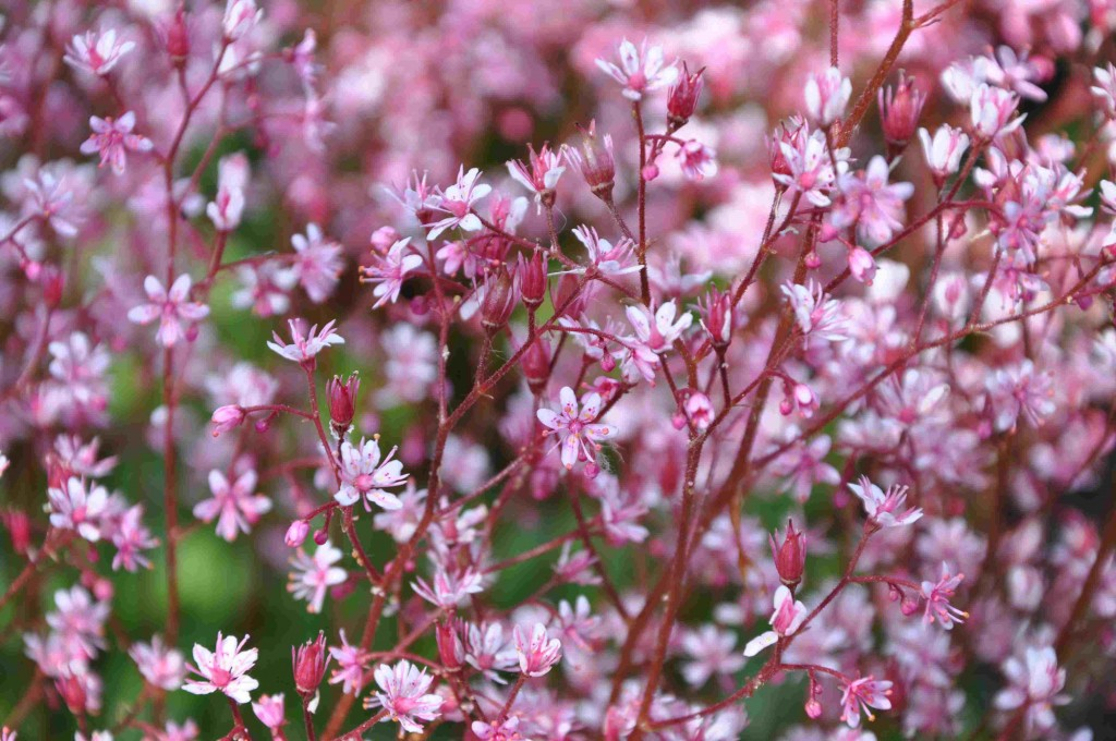 Blommorna hos de flesta bräckor sitter tätt på höga stänglar.