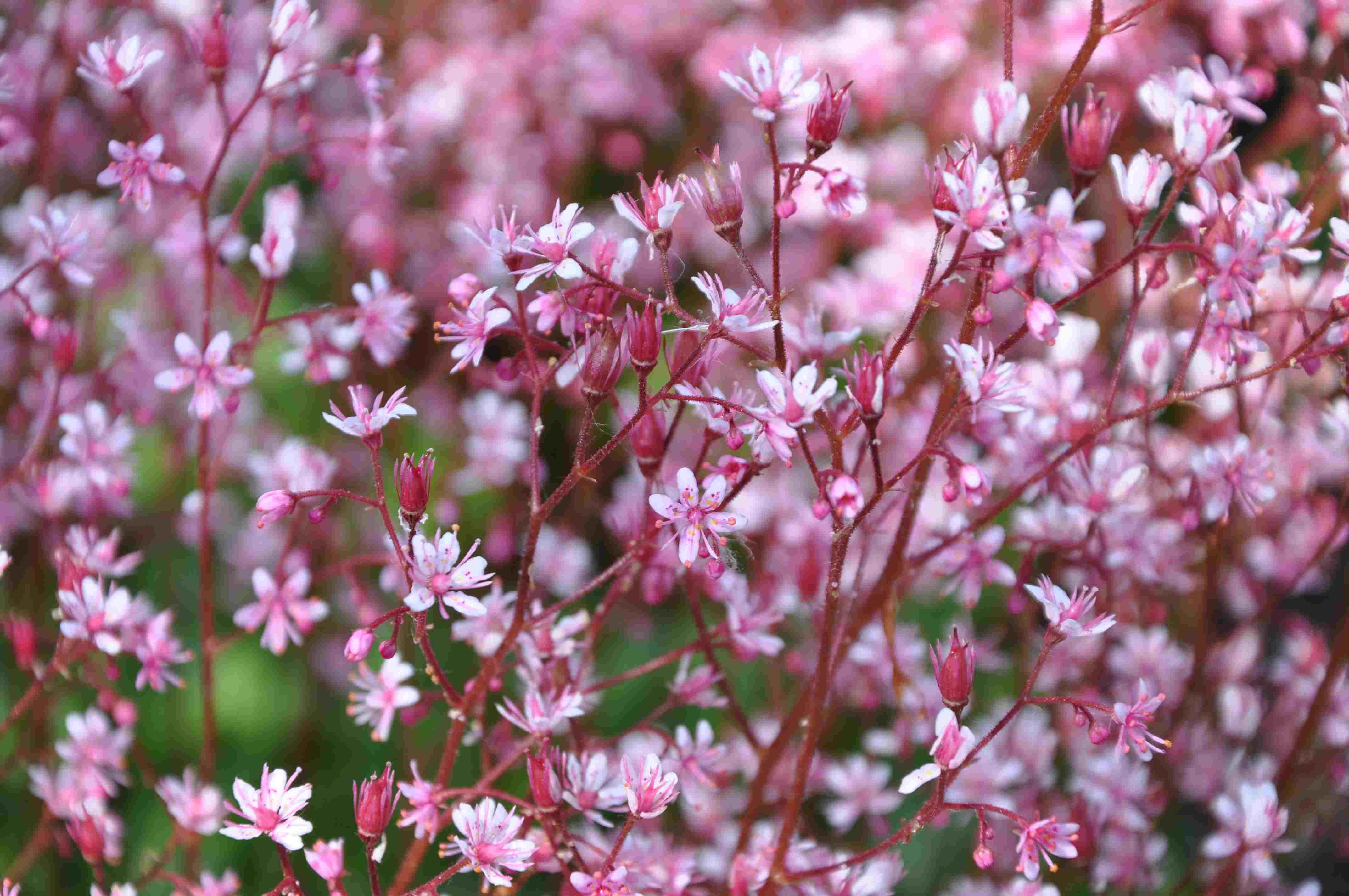 rosa blommor perenner