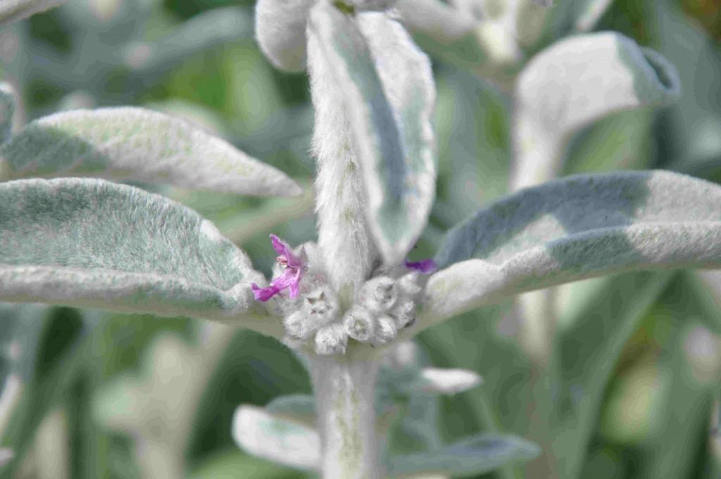 Lammöron har små, anspråkslösa blommor i lila.