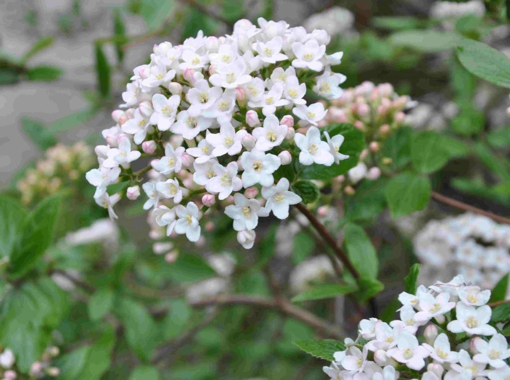 Blommande olvon känner man igen på håll genom den tydliga doften.
