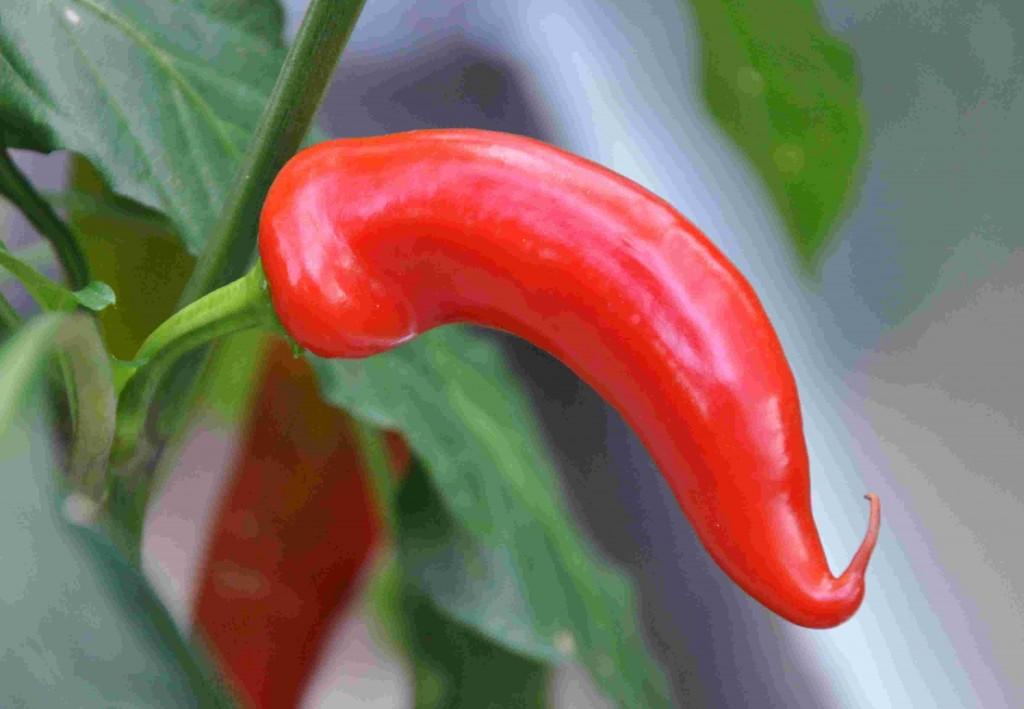 Chili finns i olika färger och former.