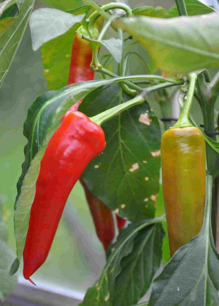 Chili och paprika är växter som är lätta att odla i växthus.