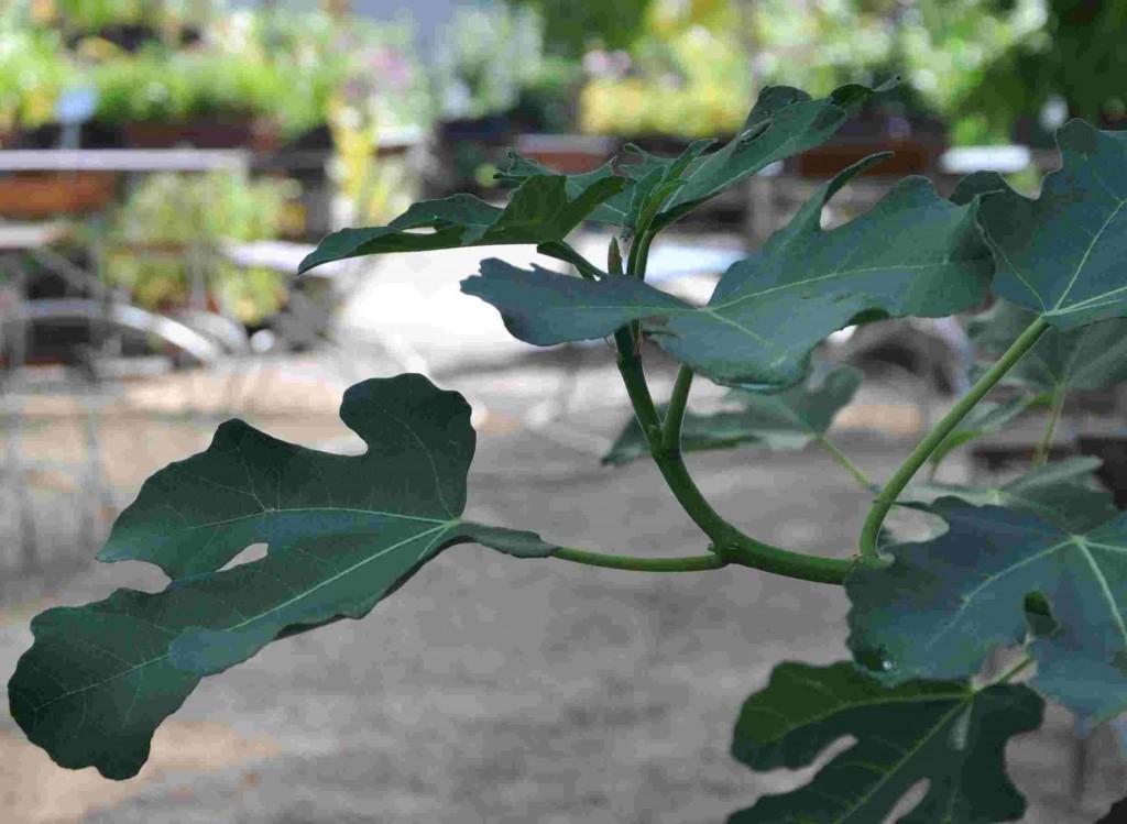 Fikon trivs även i växthus där den lätt växer till sig.