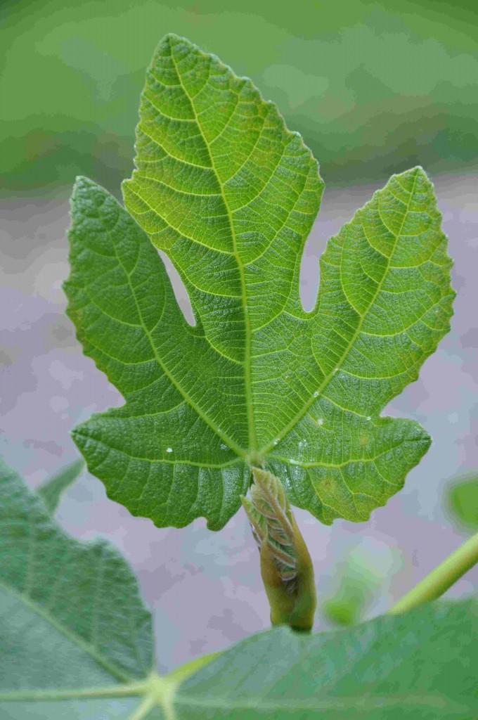 Fikonlövet blir stort och mörkgrönt om plantan får mycket gödsel.
