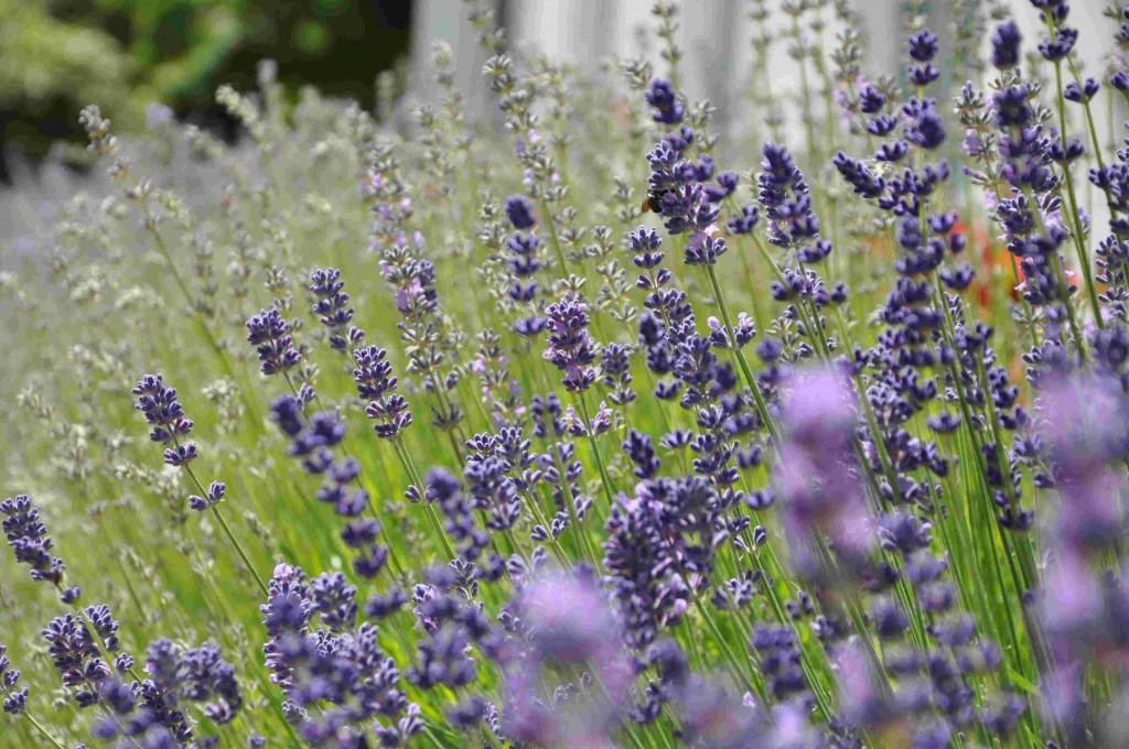 Lavendel finns i olika färger från vitt-rosa-lila till blått.