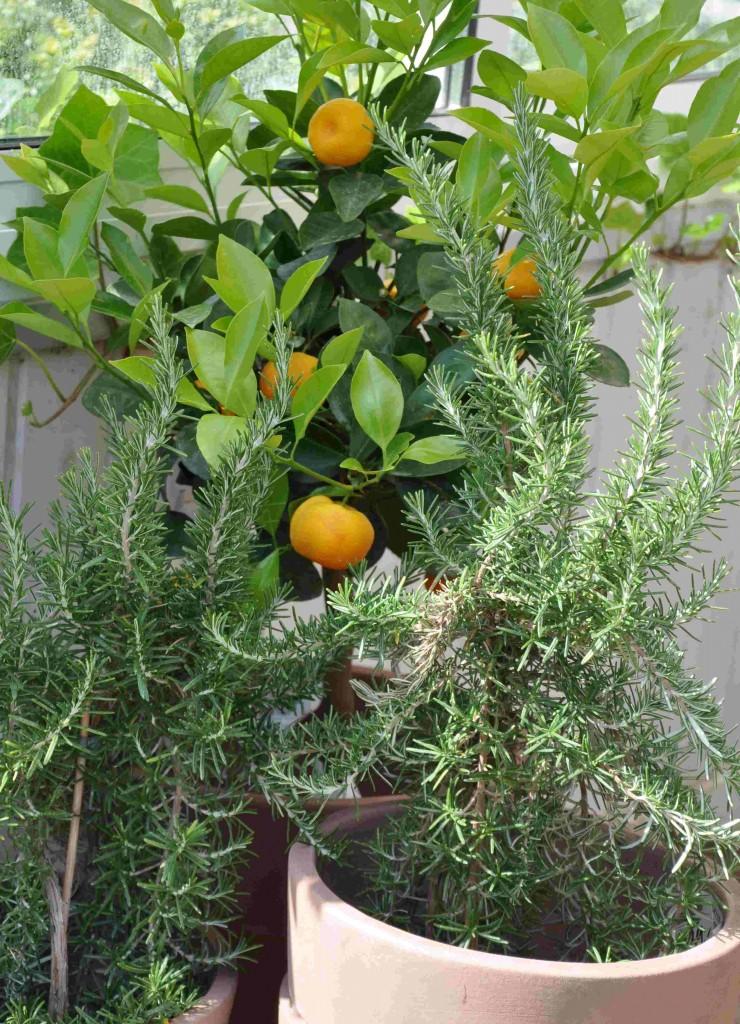 Rosmarinen är en växt som förknippas med minne och hågkomst.
