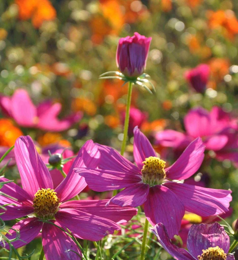 Rosenskära finns i vitt, rosa och ljusgula färger.