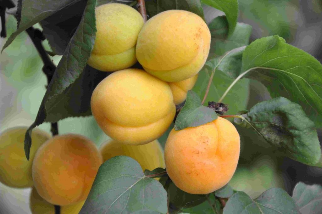Aprikoser, kiwi, fikon och mullbär odlas i växthusen.