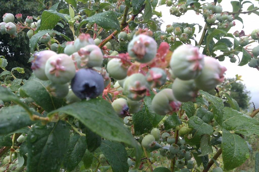 I slutet av juli mognar jätteblåbären.