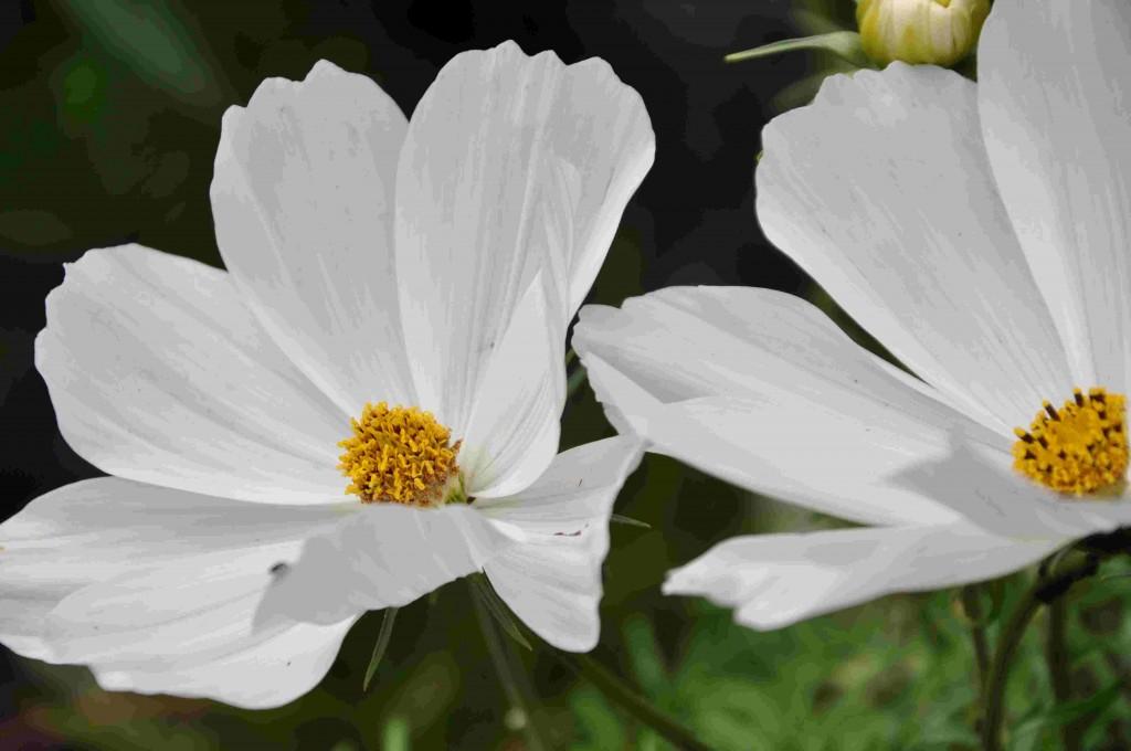 Cosmos får stora blommor, både enkla och dubbla varianter finns.