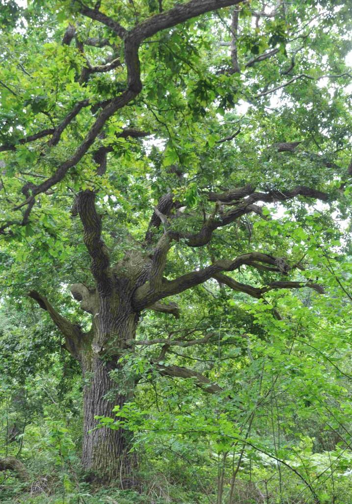 Gamla ekar finns det gott om i de fuktigare mittområdena på Hallands väderö