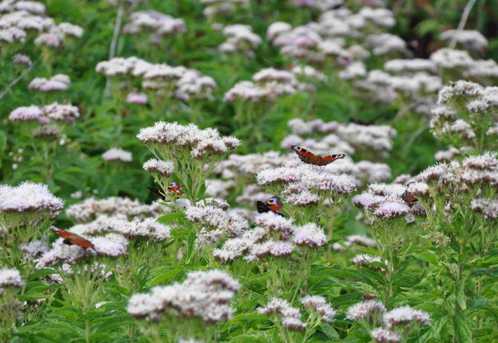 Fjärilarna hittade hampflockeln och flockades kring blommorna.