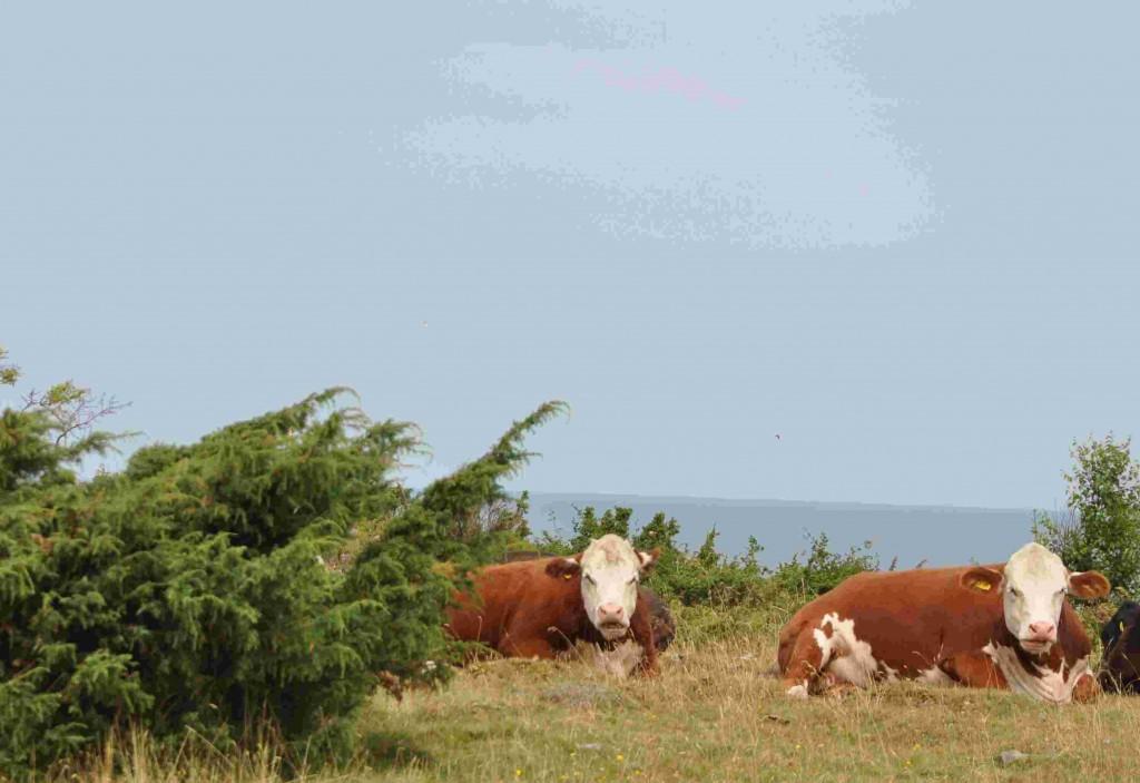 Betesdjur håller landskapet på ön öppet från sly och högt gräs.