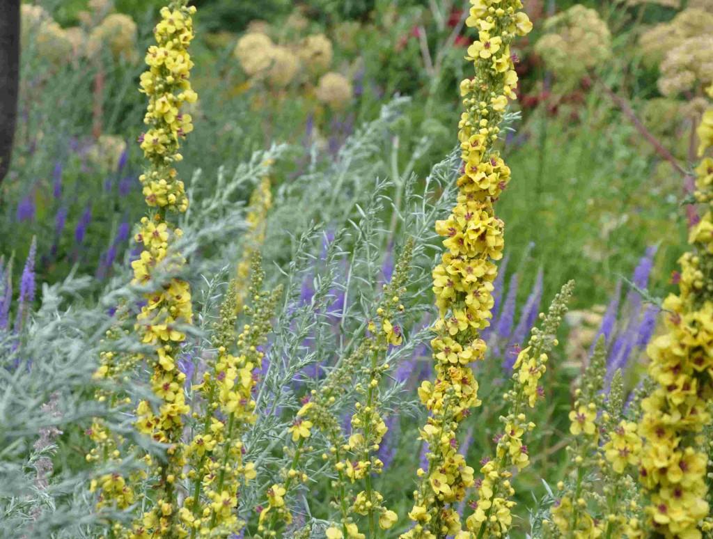 Kungsljus passar bra ihop med andra torrmarksväxter som malört och röllika.