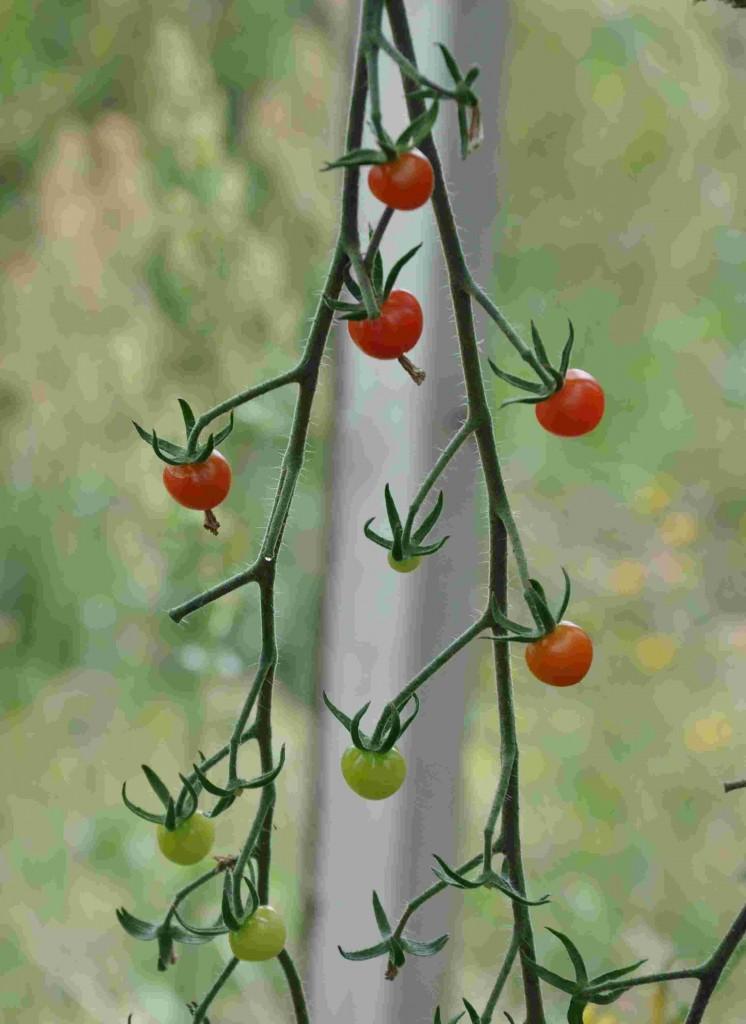 Tomater finns i olika färger och former.