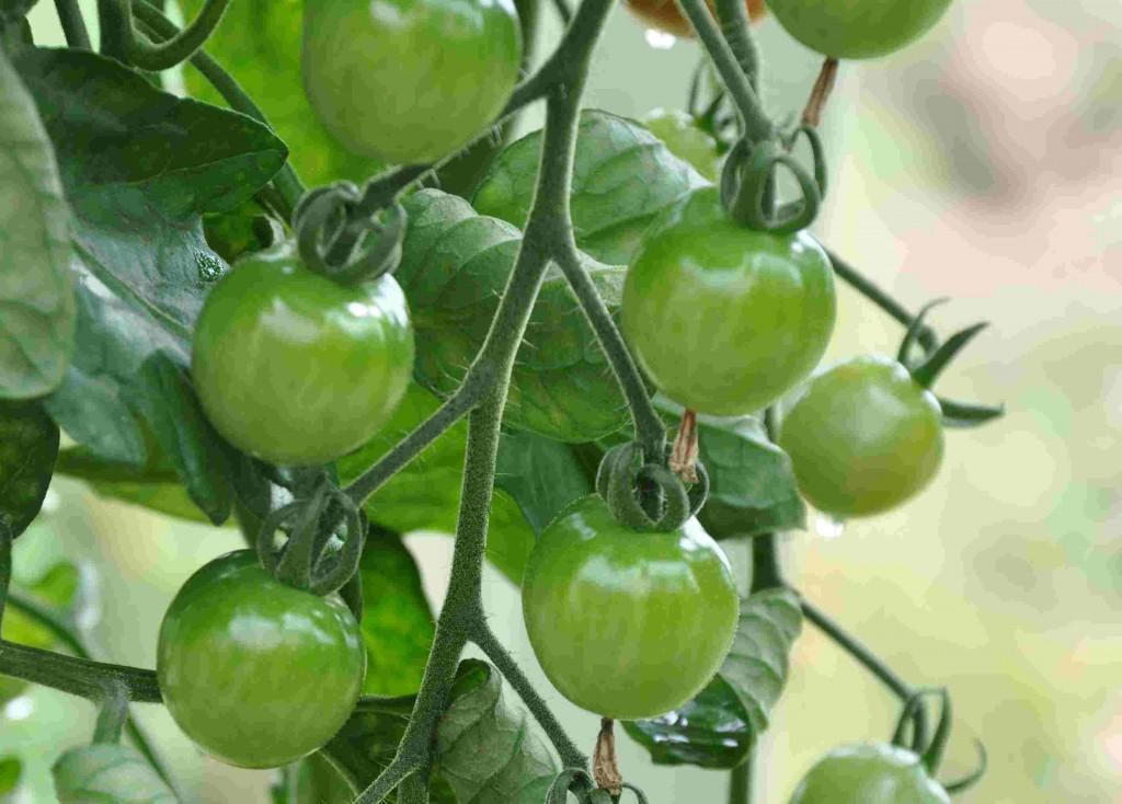 Tomaterna mognar en och en i klasen.
