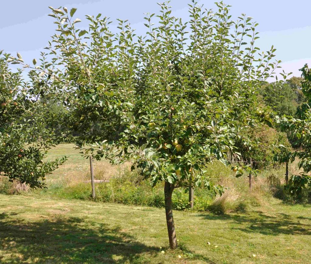 Äppleträd som växer tätt gallras gärna ur på sommaren.