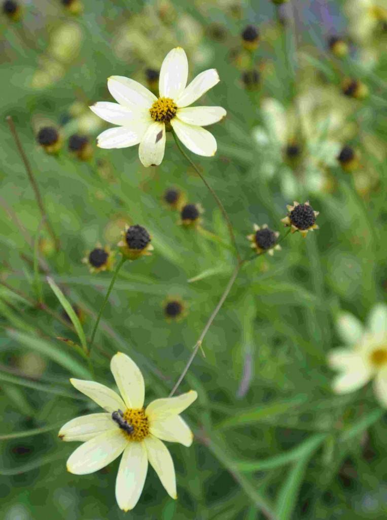 Höstögat är en mycket rikblommande perenna växt som blommar på sensommaren.