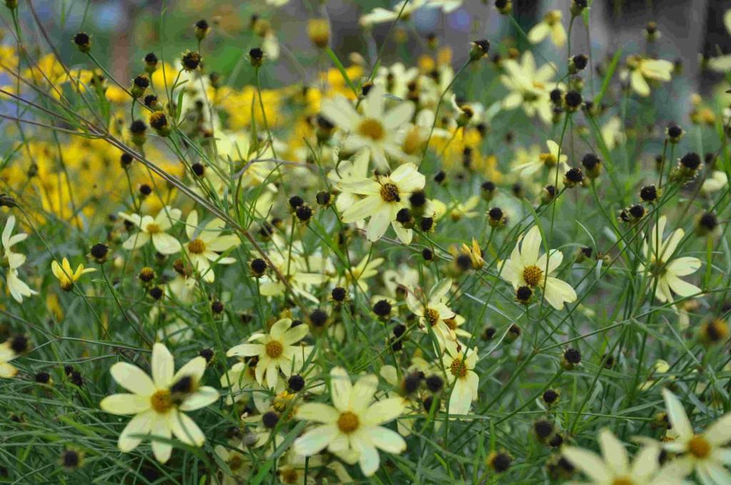 Höstögat har små stjärnformade blommor på smala stjälkar.