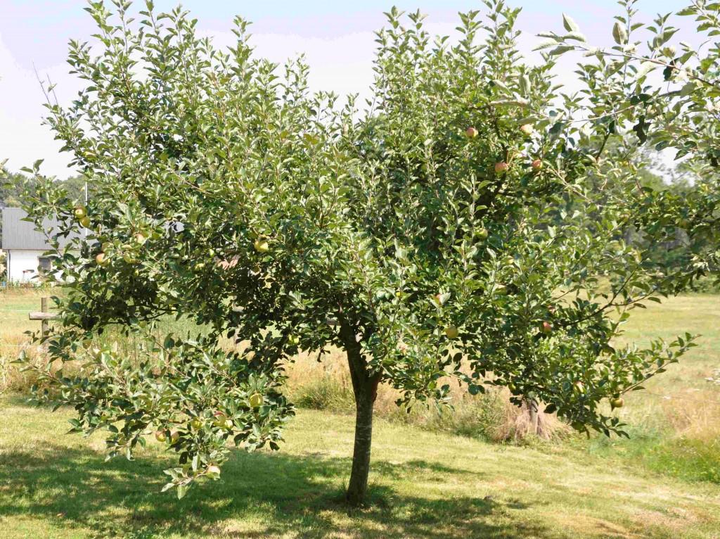 Äppleträd gallras för att ge frukten bättre utvecklingsmöjligheter.