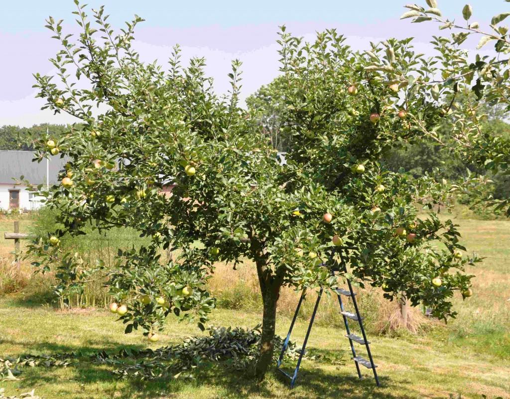 Ettgallrat fruktträd ger frukten mer luft och solljus.