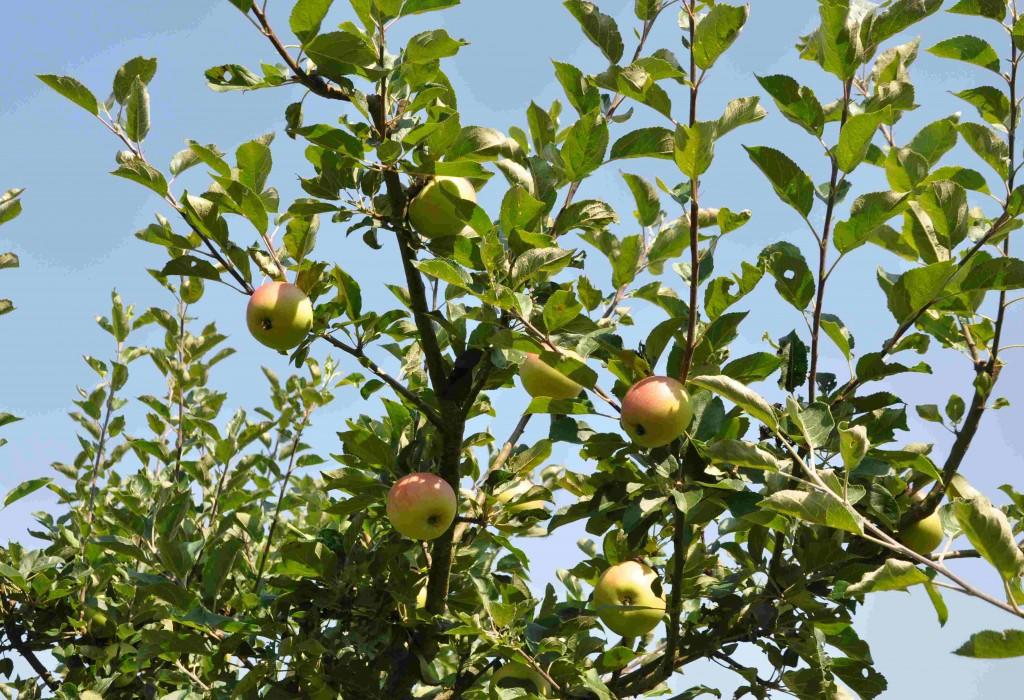 Grenverk på äppleträd efter gallring.