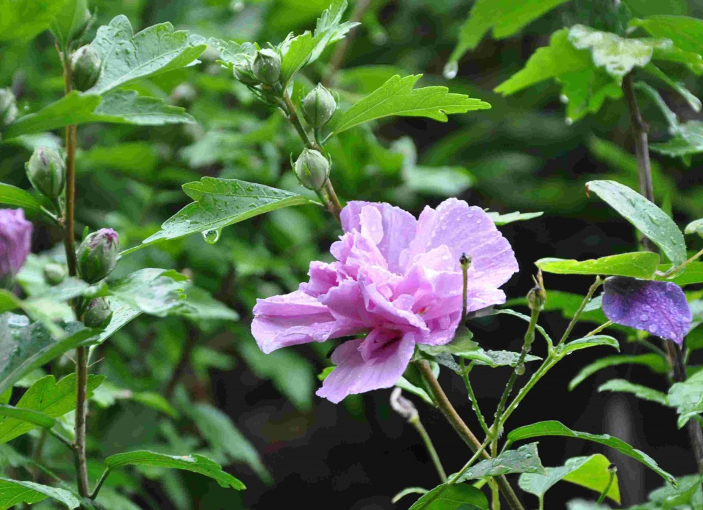 Frilandshibiscus är en värmekrävande växt som trivs i mullrik och lätt jord.
