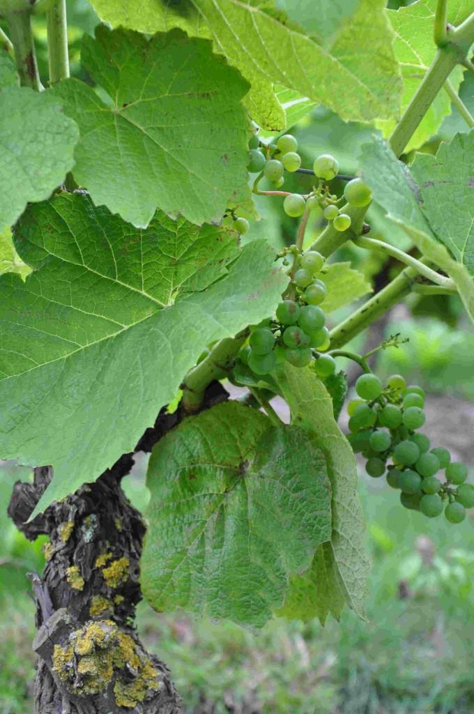 Vindruvorna mognar längst ner på vinstocken.