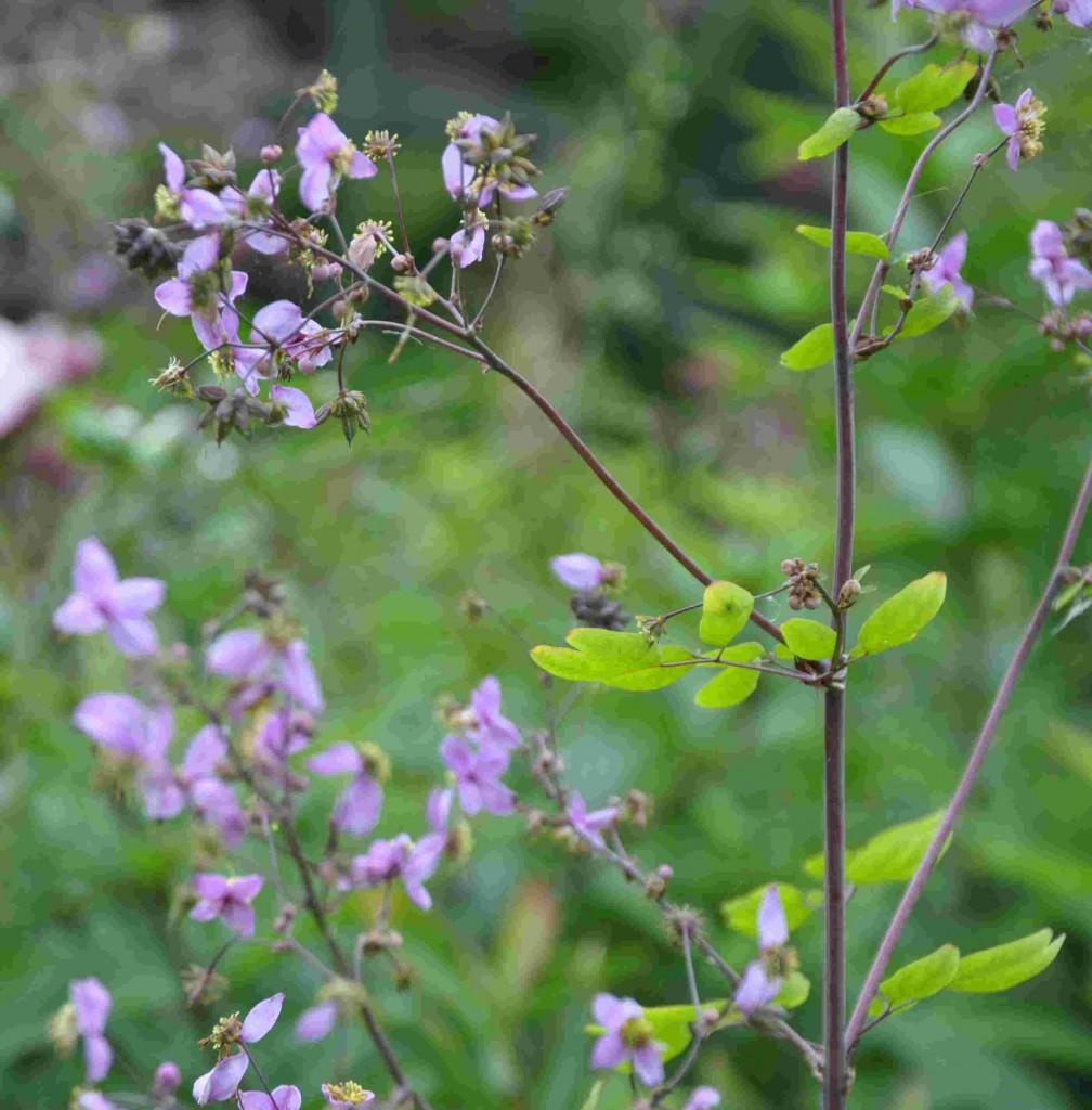 Skuggviolruta är en högväxt men skir perenn som har pyttesmå lila blommor.