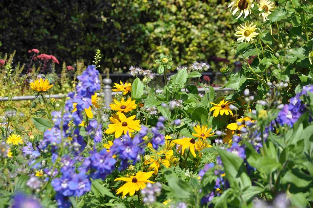Blått och gult är en klassisk färgkombination i blommor.