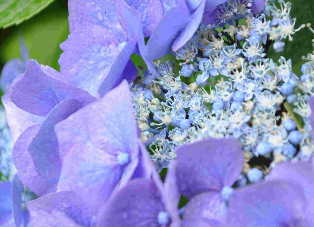 Blå hortensiablommor kräver sur jord.