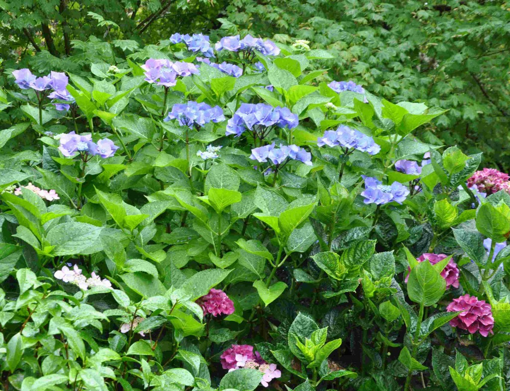 Blå blommor hänger ihop med lågt pH-värde.