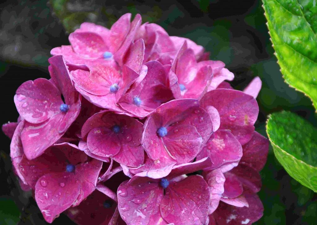 Hortensior trivs i en fuktig och näringsrik jord.