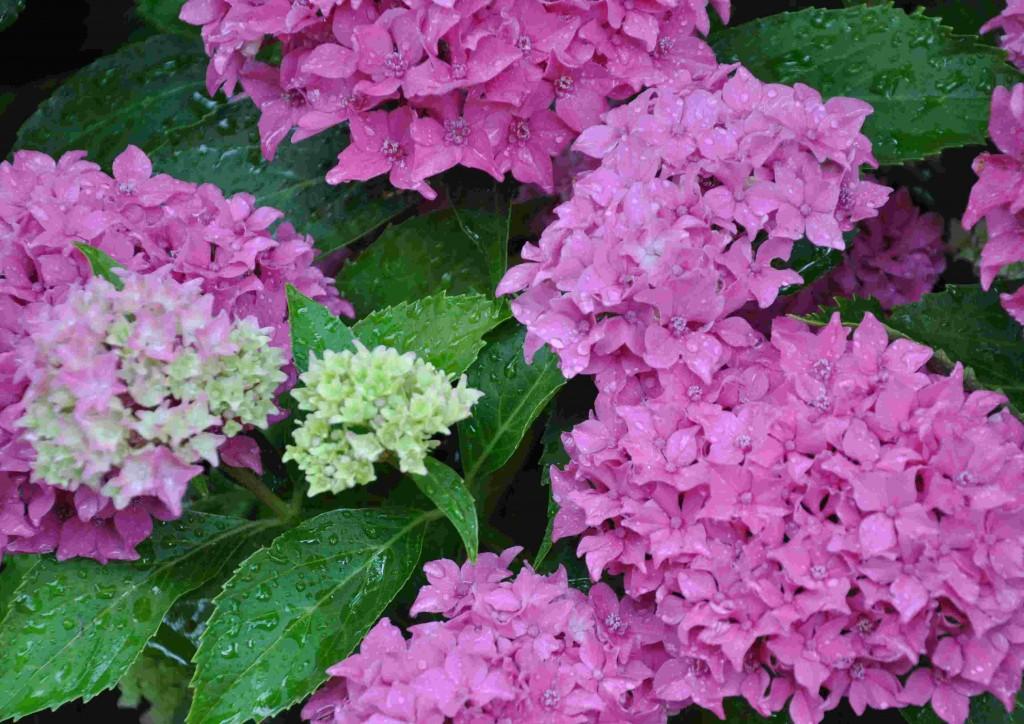 Rosafärgade blir hortensiorna vid högt eller neutralt pH.