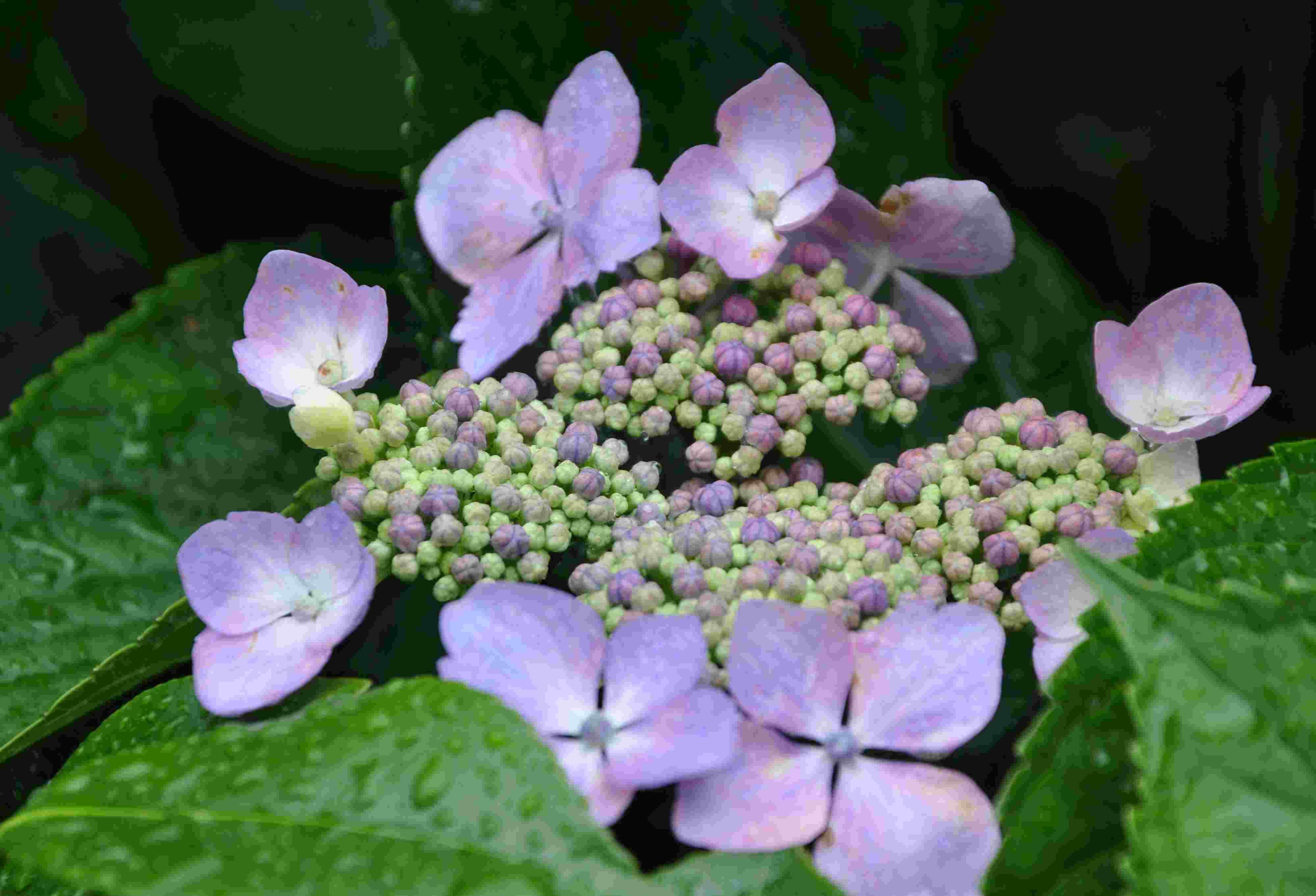 Blommande Buskar Sida 4 Greenspire Trädgårdskonsult