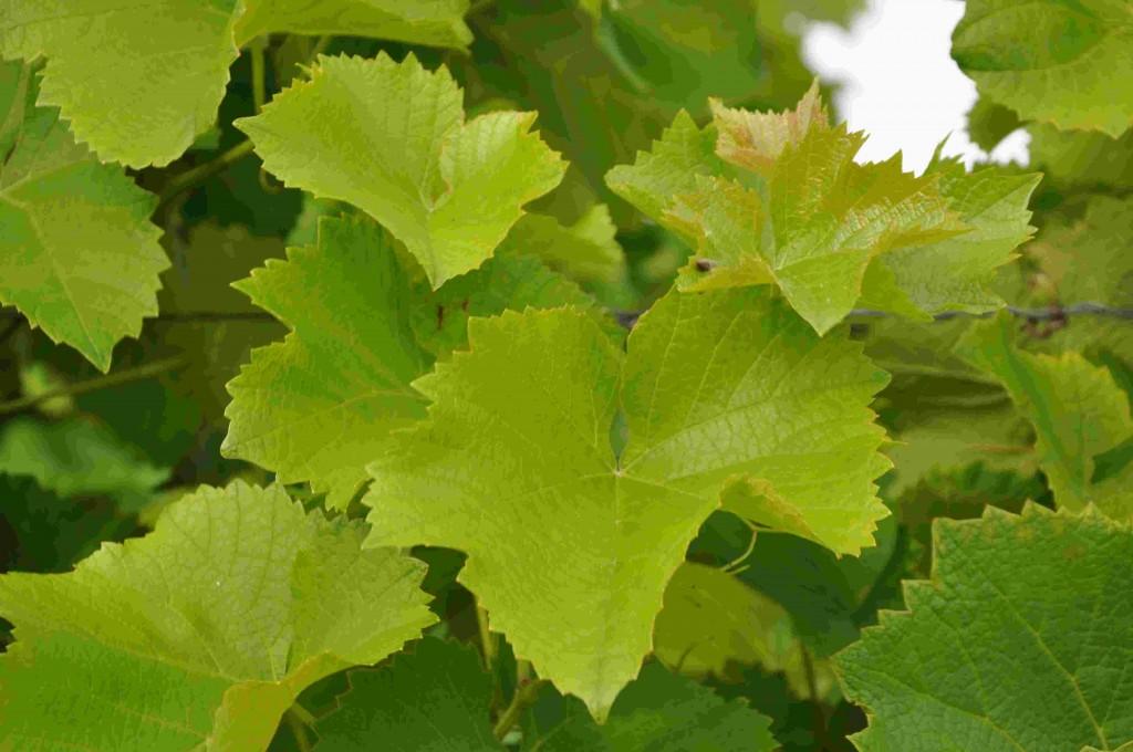 Ljusgröna blad indikerar kvävebrist i slutet av raderna.